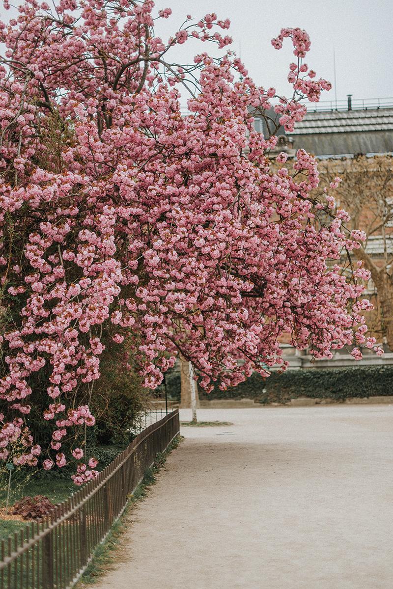 Cerisiers en Fleurs à Paris — Carnet d\'une Parisienne